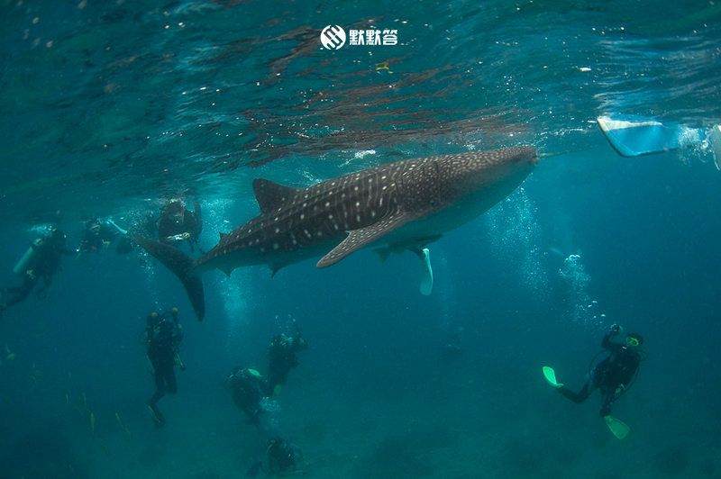 Oslob看鲸鲨「Oslob Whale Shark Watching」 (4)